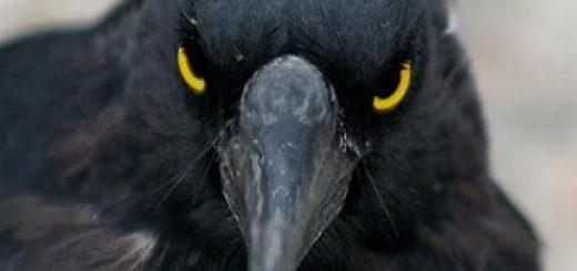 Ворон - птица особая