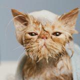 Кошка орёт